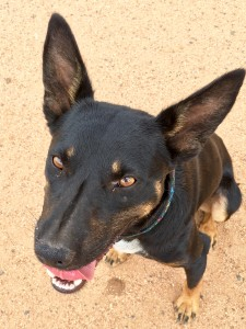 Keith is one of the working working dogs we have had available to adopt through H2H!